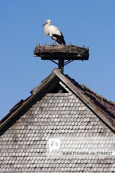 Weißstorch Storch Ciconia ciconia auf einer künstlichen Nistplattform auf dem Dach einer Scheune
