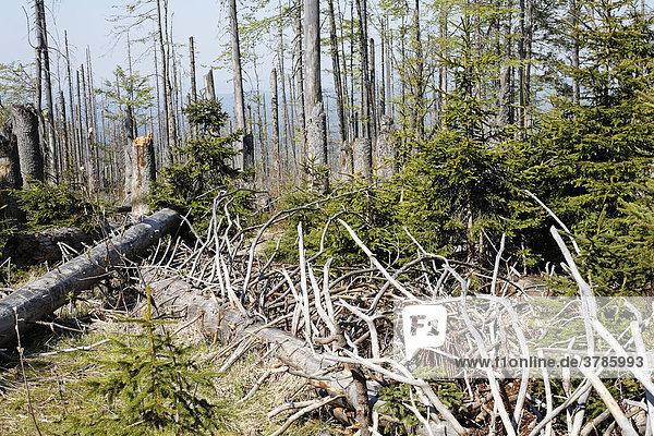 Mixed forest with dead and young spruces  regeneration  Bayerischer Wald National park  Lower Bavaria  Germany