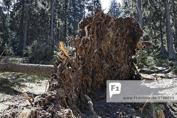 Uprooted fir  Bayerischer Wald National park  Bavarian Forest  Lower Bavaria  Germany