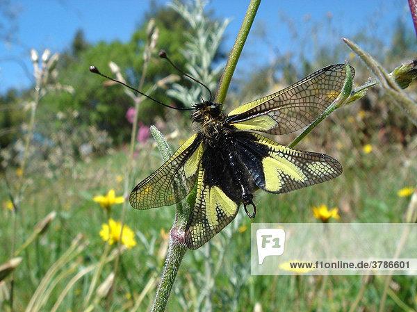 Schmetterlingshaft  Libelloides spec.
