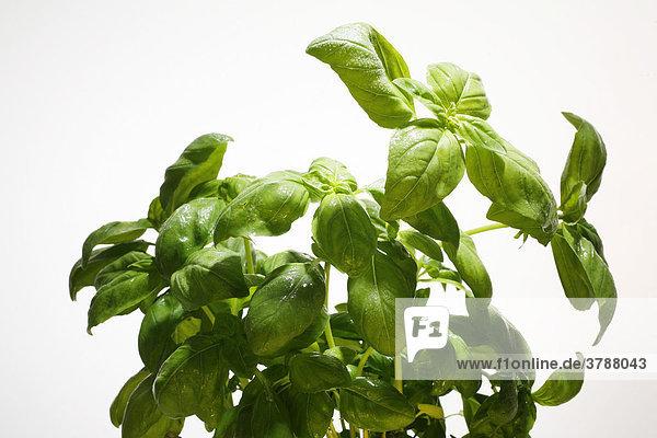 Frische Küchenkräuter  Basilikum (Ocimum basilicum)