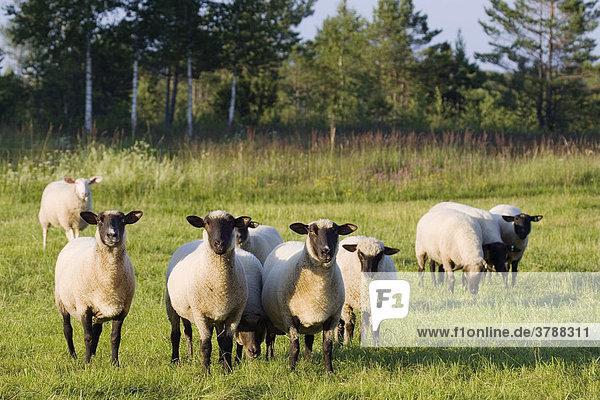 Black-headed sheep  Upper Bavaria  Germany