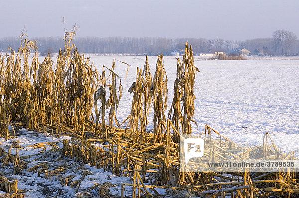 Died corn