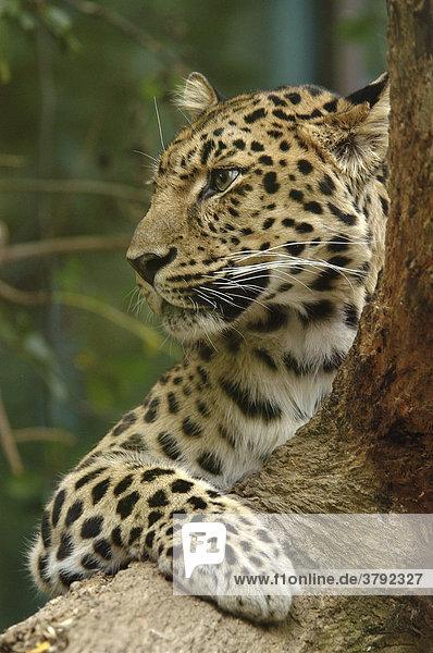Amur Leopard (Panthera pardus orientalis)  an Baumstamm liegend