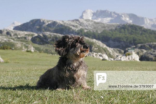 Dackel auf der Wiese vor einer Bergkulisse Spanien