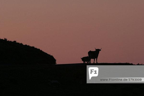 Stier im Sonnenuntergang Spanien
