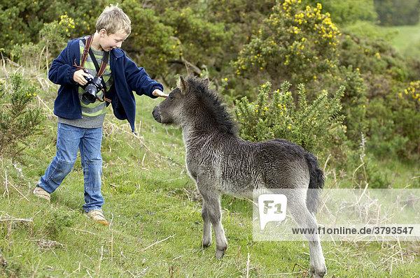 Shetland Pony south west England