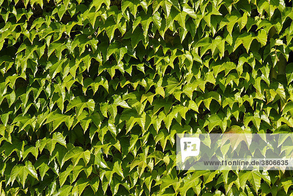 House wall with ivy Hedera helix in Beilngries in the Altmuehl valley Upper Bavaria Germany