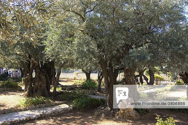 Israel Jerusalem Yerushalayim Mount of Olives garden Getsemani