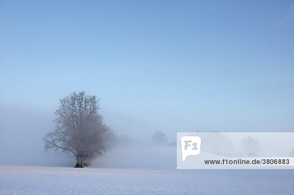Lonely tree in winter with fog