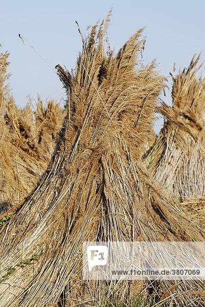 Reed assembled to be dried National Park Neusiedler See Lake Neusiedl Burgenland Austria