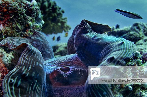 Riesenmuschel (Tridacna gigas) bei Vakarufalhi  Ari Atoll  Indischer Ozean  Malediven