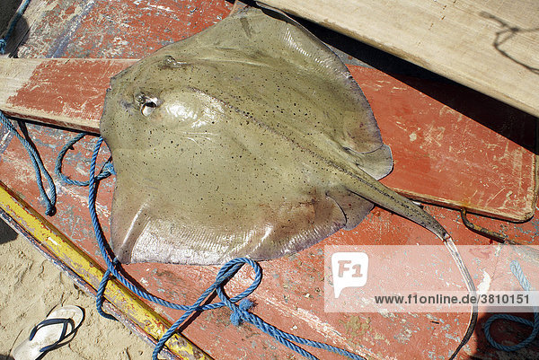 Capture of a fisherman: Ray  Ceara  Brazil