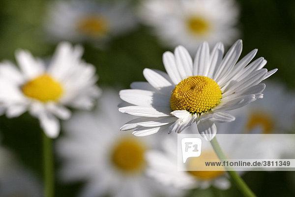 Margeriten - Weisse Wucherblume - Gewöhnliche Wucherblume - blühend (Leucanthemum vulgaris)