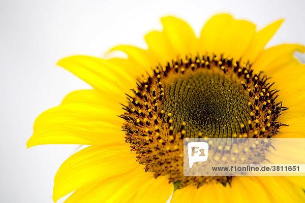 Blüte einer Sonnenblume (Helianthus annuus)