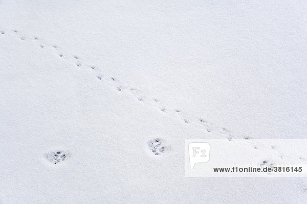 Cats and mice - footprints in the snow