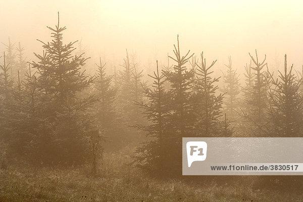 Tannenwäldchen im Nebel Taunus Hessen Deutschland Tannenwäldchen im Nebel Taunus Hessen Deutschland