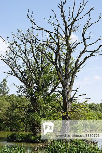 Died trees in flood areas of the river Danube near Blindheim Bavarian Swabia Germany