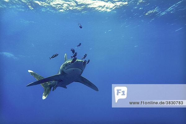 Aegypten  Rotes Meer  Weisspitzen Hochseehai  Carcharhinus longimanus