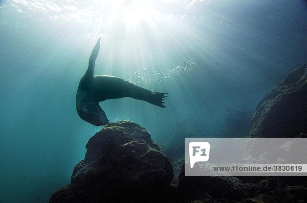 Galapagos-Seeloewe  Arctocephalus Galapagonensis  Galapagos  South-Plaza-Island  Ekuador  Pazifik