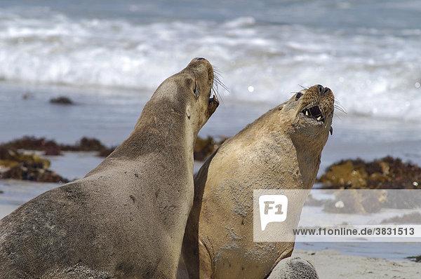 Bulle männliches Leittier kämpft mit jungen australischen Seelöwen in der Seelöwenbucht auf Kangaroo Island Australien