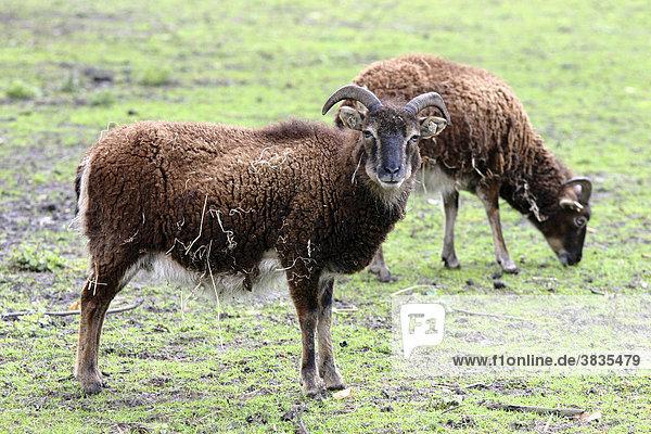 Schafe  tierpark  wildgehege
