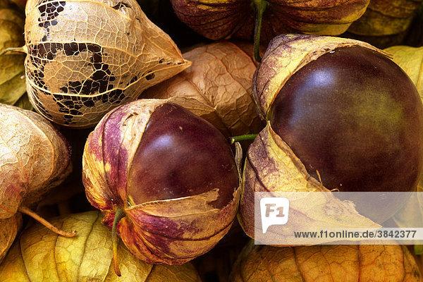 Tomatillo oder Schalentomate (Physalis ixocarpa) Früchte vom ökologischem Kleinbetrieb  Powys  Wales  Großbritannien  Europa Tomatillo oder Schalentomate (Physalis ixocarpa) Früchte vom ökologischem Kleinbetrieb, Powys, Wales, Großbritannien, Europa
