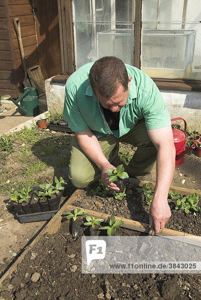 Ackerbohnen oder Dicke Bohnen (Vicia faba)  Gärtner beim Auspflanzen in biologisch abbaubare Töpfe  Norfolk  England  Großbritannien  Europa