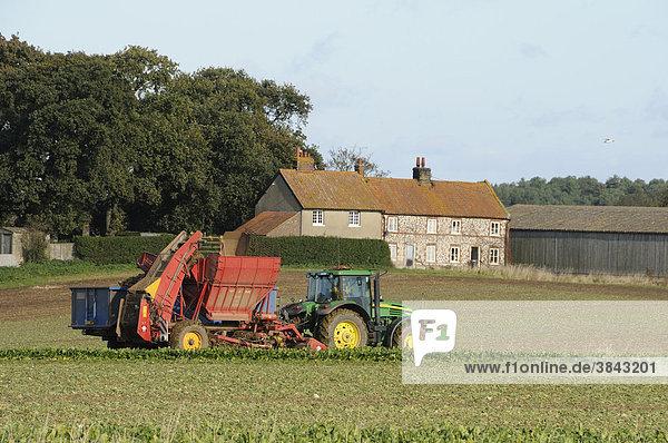 Zuckerrüben (Beta vulgaris)  mechanisierte Ernte auf Ackerland mit Cottages in Küstennähe  Burnham Overy  Norfolk  England  Europa