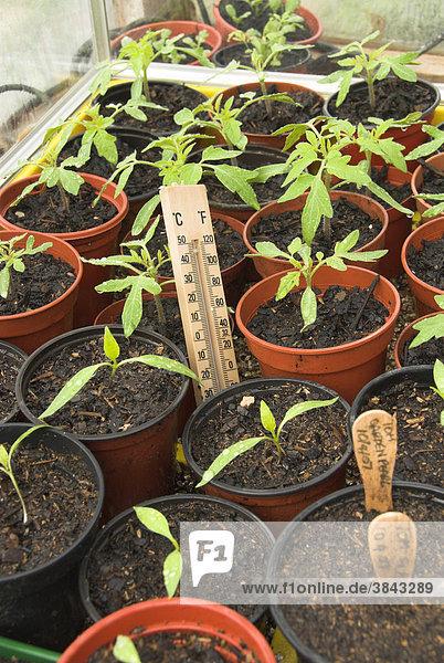 Tomaten- und Paprika-Jungpflanzen in elektrischem Anzucht-Gewächshaus mit Thermometer  Norfolk  England  Großbritannien  Europa