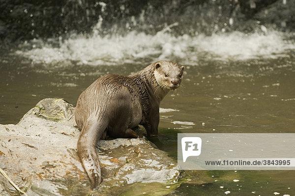 Indischer Fischotter oder Weichfellotter (Lutrogale perspicillata)  Alttier steht auf Steinen am Wasser  in Gefangenschaft