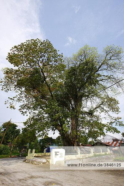 Heiliger Baum  Dr. Ludwig Ingwer Nommensen-Gedenkstätte  Tarutung  Batak Region  Sumatra  Indonesien  Asien