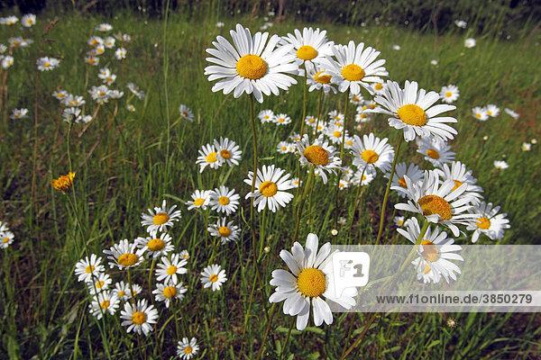 Margeriten  Weiße Wucherblumen  Gewöhnliche Wucherblumen  Wiesen-Margeriten  Wiesen-Wucherblumen  Magerwiesen-Margeriten (Leucanthemum vulgare)