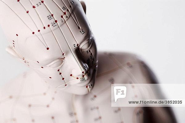 Anatomisches Modell  Kopf mit Akupunkturpunkten