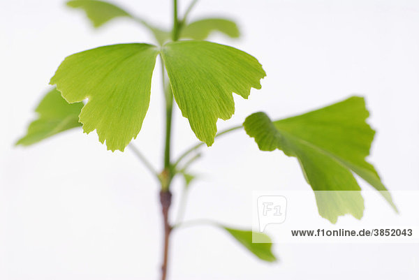 Ginkgo (Ginkgo biloba)  leaves