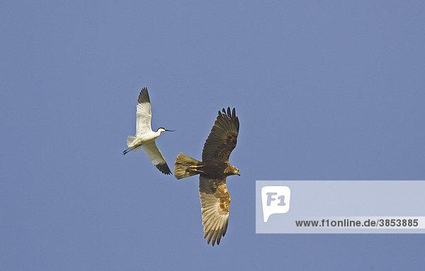 Säbelschnäbler (Recurvirostra avocetta)  Altvogel im Flug  eine Rohrweihe (Circus aeruginosus) wird gemobbt  Norfolk  England  Großbritannien  Europa