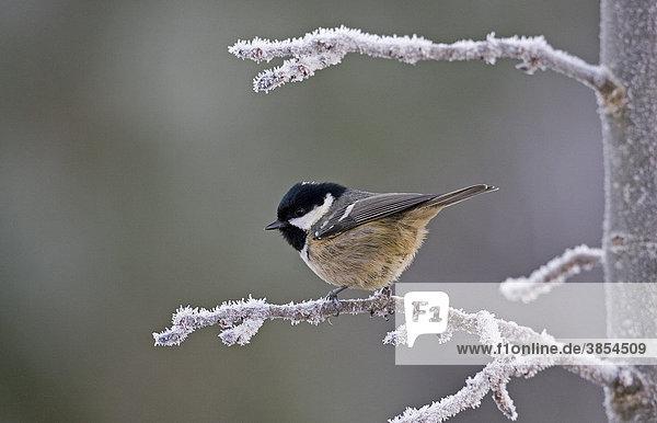 Tannenmeise (Parus ater)  ausgewachsener Vogel sitzt auf einem frostbedeckten Zweig  England  Großbritannien  Europa