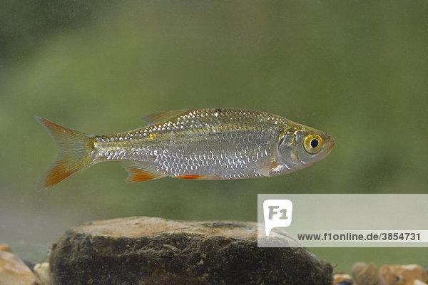 Rotfeder (Scardinius erythrophthalmus)  junger Fisch beim Schwimmen  Norfolk  England  Großbritannien  Europa