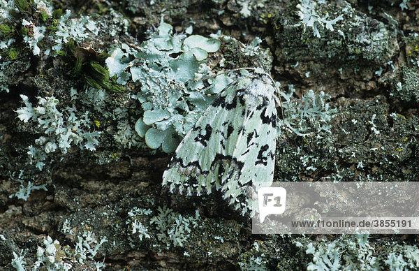 Seladoneule (Moma alpium)  auf Flechten  getarnt  Französische Pyrenäen  Frankreich  Europa