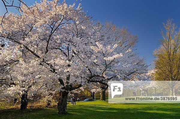 Photographer couples at Japanese flowering Cherry Sakura tree in High Park Toronto