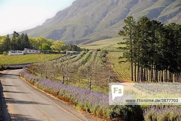 Road along Lavender flowers and vineyards fields nearby Stellenbosch  South Western Cape  South Africa