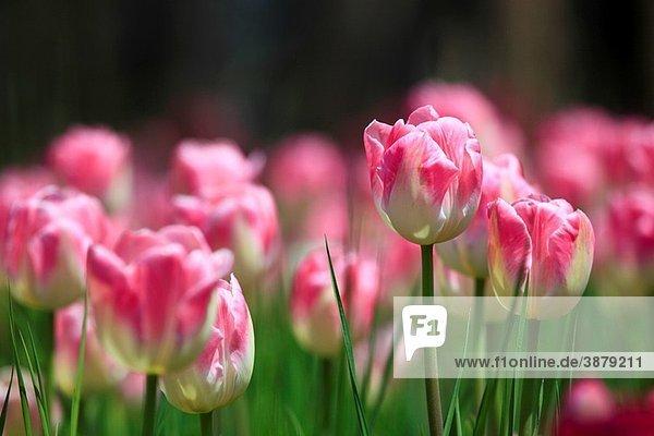 Tulip  Tulipa  Tulpe  Insel Mainau  Isle of Mainau  Konstanz  Germany Tulip, Tulipa, Tulpe, Insel Mainau, Isle of Mainau, Konstanz, Germany