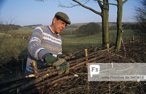 Mann beim Bau einer Hecke  Combe  Berkshire  England  Vereinigtes Königreich  Europa