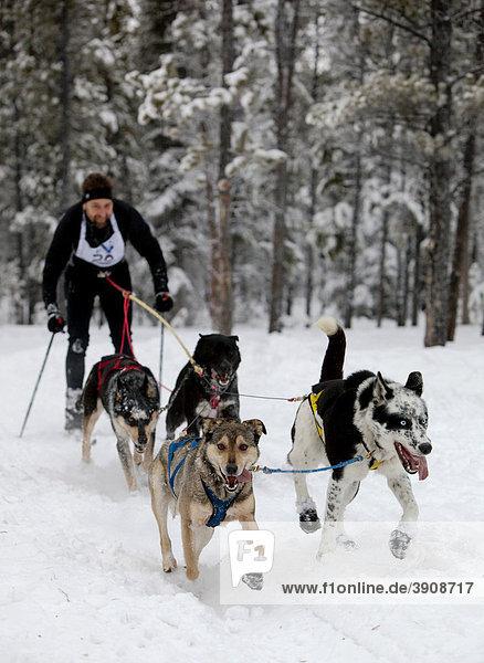 Mann beim Skijöring  Schlittenhunde ziehen Skilangläufer  Hundesport  Alaskan Huskies  Carbon Hill Hundeschlittenrennen  Mt. Lorne  in der Nähe von Whitehorse  Yukon Territorium  Kanada