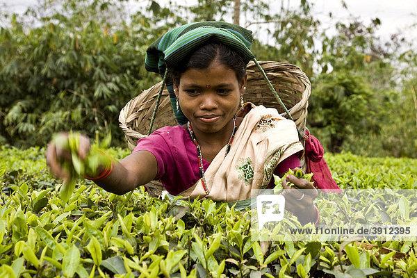 Frau pflückt Teeblätter in einem Teegarten in Assam  Indien  Asien