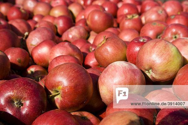 Apfelernte in Brandenburg  Deutschland  Europa