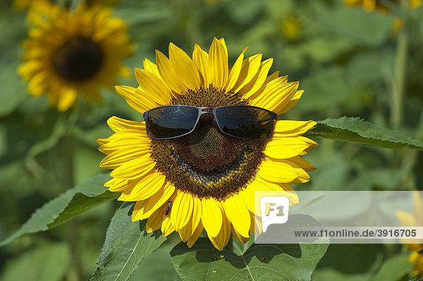 Sonnenblume (Helianthus anuus) mit Sonnenbrille lachend