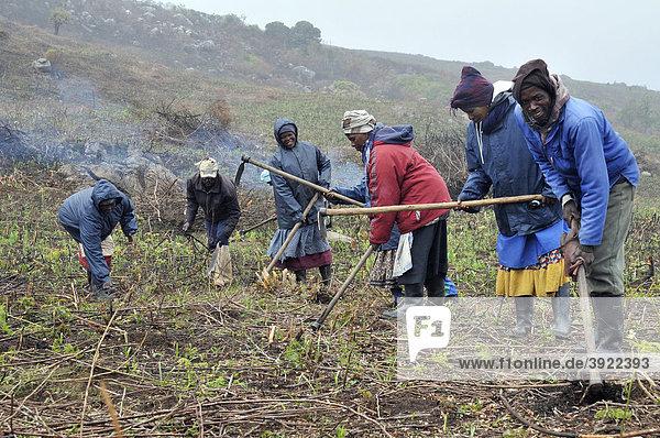 Aufbereitung des Bodens für das Anpflanzen eines Pinien-Forstes im unwegsamen Bergland nahe Cata-Village im ehemaligen Homeland Ciskei  Eastern Cape  Südafrika  Afrika
