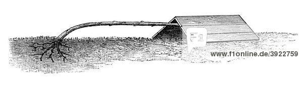 Niedergelegte Hochstammrose  historische Illustration aus: Theodor Lange: Allgemeines Illustriertes Gartenbuch  Bd. 2  Leipzig 1902  S. 424  Abb. 467