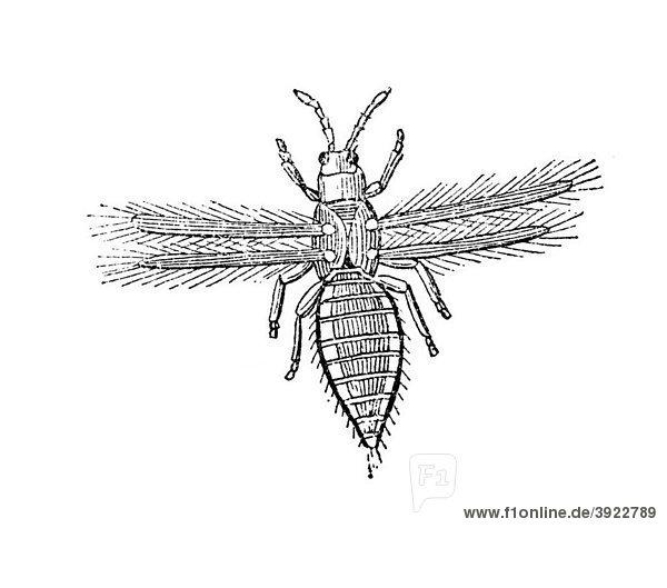 Schwarze Fliege  historische Illustration aus: Theodor Lange: Allgemeines Illustriertes Gartenbuch  Bd. 1  Leipzig 1902  S. 698  Abb. 696